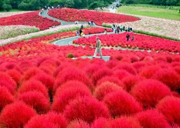 004_--Hitachi-Seaside-Park-in-Japan