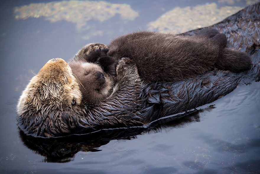 baby-otter-sleeps-mother-belly-monterey-bay-aquarium_=04