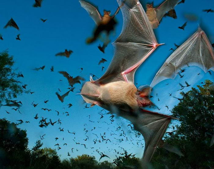 Free-tailed-Bats-01