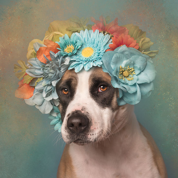 pit-bull-flower-power-adoption-sophie-gamand-60_300