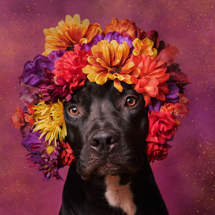 pit-bull-flower-power-adoption-sophie-gamand-69_300