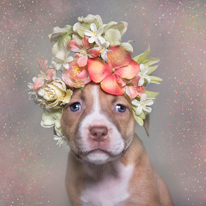 pit-bull-flower-power-adoption-sophie-gamand-71_300