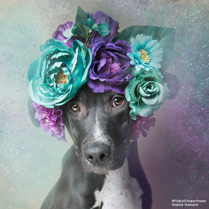 pit-bull-flower-power-adoption-sophie-gamand-77_400