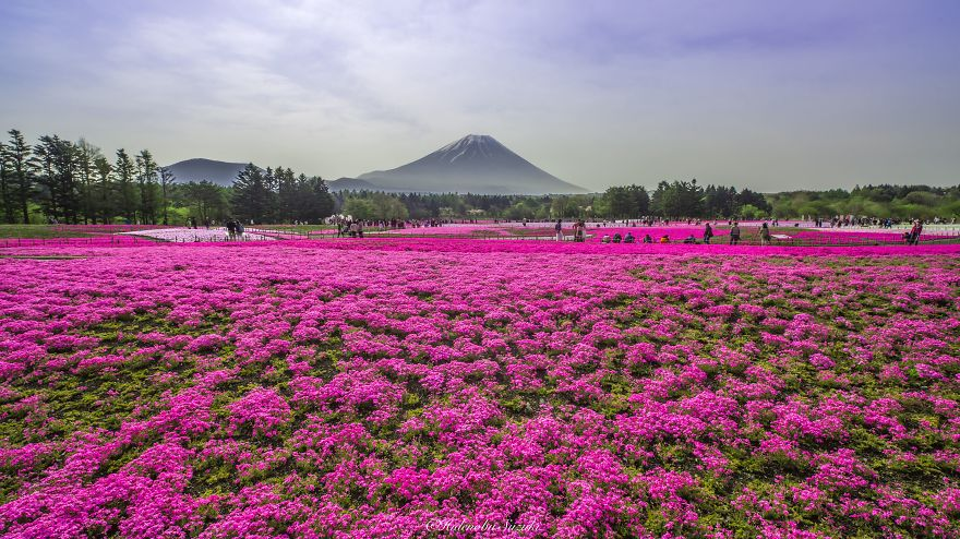 beautiful fields of Shibazakura-2_855