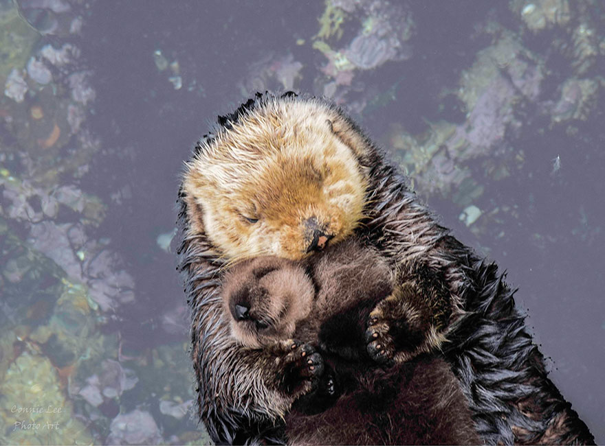 baby-otter-sleeps-mother-belly-monterey-bay-aquarium_=03