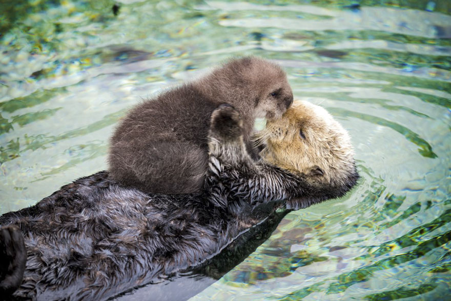 baby-otter-sleeps-mother-belly-monterey-bay-aquarium_=07