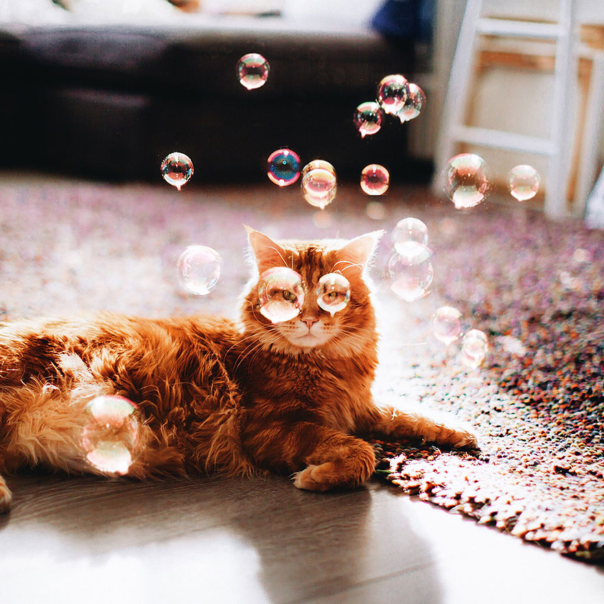 Cutlet The Ginger Cat Is So Majestic He Even Has His Own Hoomin Photographer-010