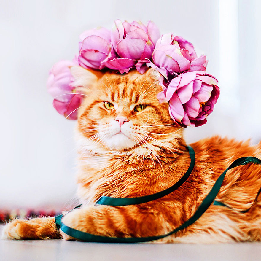 Cutlet The Ginger Cat Is So Majestic He Even Has His Own Hoomin Photographer-02