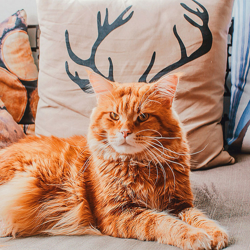 Cutlet The Ginger Cat Is So Majestic He Even Has His Own Hoomin Photographer-27
