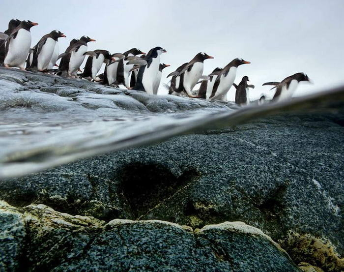 Gentoo-Penguins-02