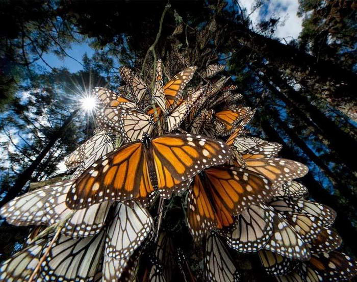 Monarch-Butterflies-08
