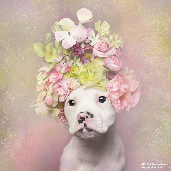 pit-bull-adoption-flower-power-sophie-gamand-52__700_300