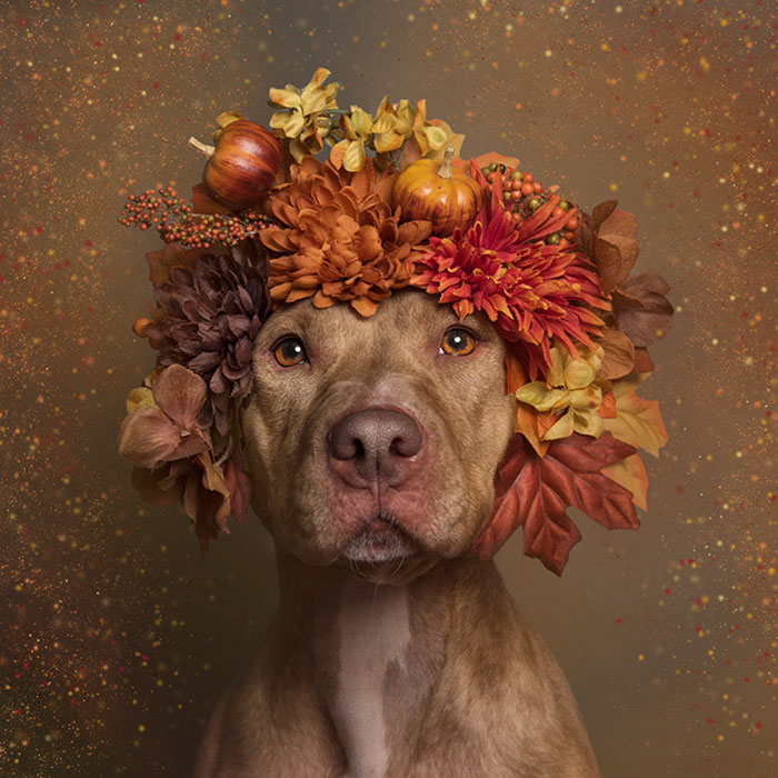 pit-bull-flower-power-adoption-sophie-gamand-61_300