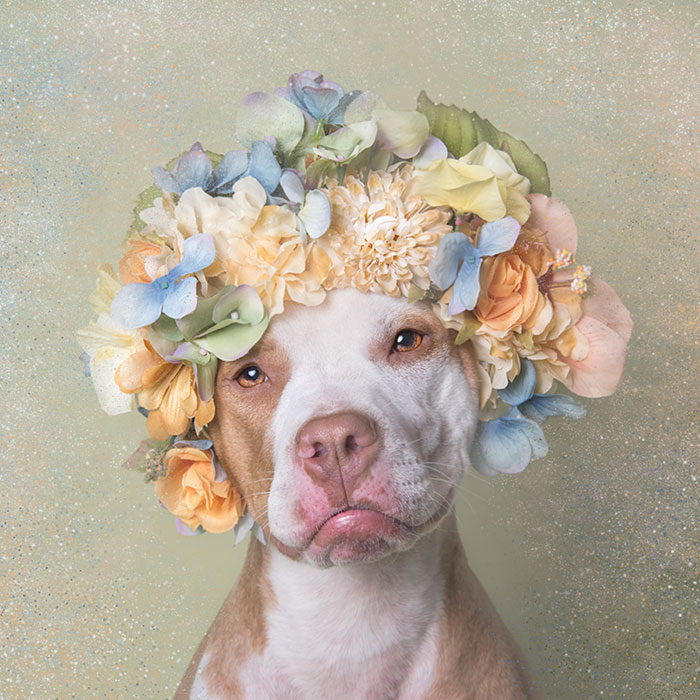 pit-bull-flower-power-adoption-sophie-gamand-67_300