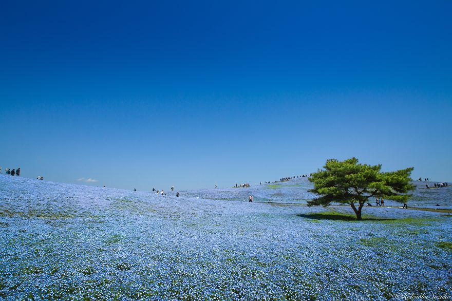 Amazing Photography of the Baby Blue Eyes and Shibazakura fields-3_855