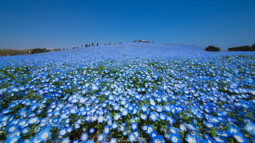 Amazing Photography of the Baby Blue Eyes and Shibazakura fields-4_855
